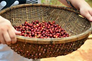 Giá cà phê hôm nay 25/2: Dự báo tăng