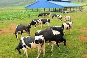Vinamilk muốn đầu tư dự án nuôi bò hơn 1.200 tỷ đồng tại Hà Tĩnh