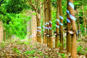 Cao su Tây Ninh (TRC): Lãi ròng tăng 13% trong quý III
