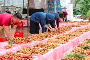 Bắc Giang lên kịch bản tiêu thụ vải thiều để hạn chế ảnh hưởng của dịch Covid-19